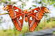 Saturniidae, Attacus atlas, Atlas Moth, Moth, Butterflies and Moths