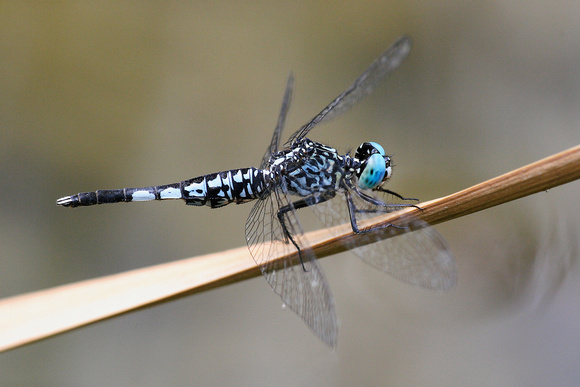 Acisoma panorpoides, Trumpet Tail, dragonfly, dragonflies and damselflies of Singapore
