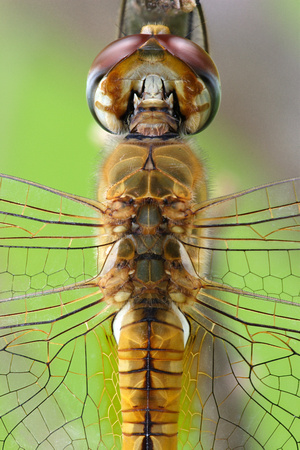 Libellulidae, Pantala flavescens, Wandering Glider, dragonfly, dragonflies and damselflies of Singapore