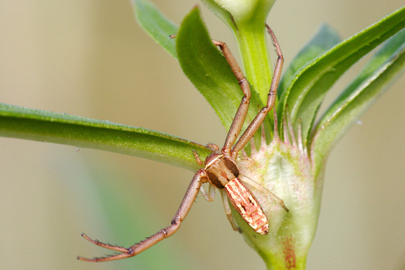 R. acuminata (Female 1)