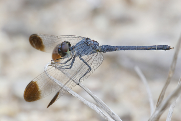 Diplacodes nebulosa, Black-tipped Percher, dragonfly, dragonflies and damselflies of Singapore