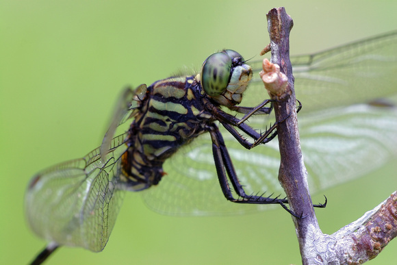 Orthetrum sabina, Variegated Green Skimmer, dragonfly, dragonflies and damselflies of Singapore