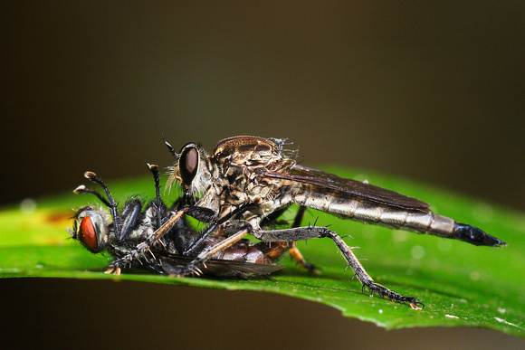 Robberfly - Kiss of Death 3
