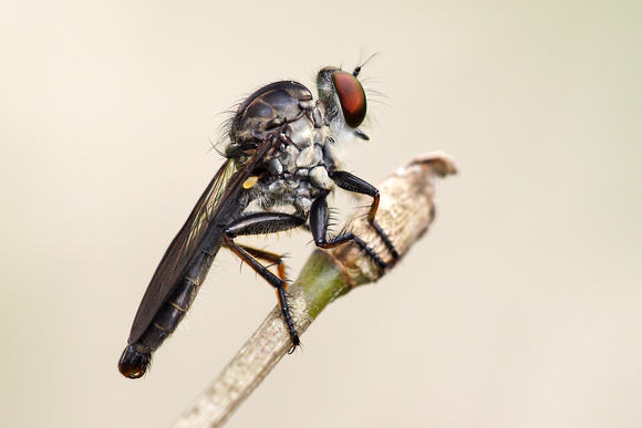 Robberfly 1