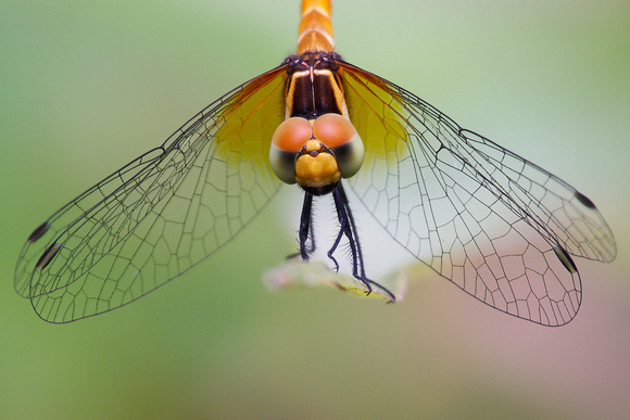 Libellulidae, Nannophya pygmaea, Scarlet Pygmy, dragonfly, dragonflies and damselflies of Singapore