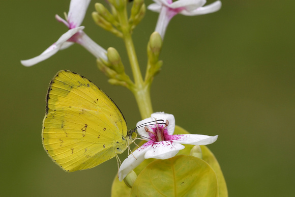 Pieridae, Coliadinae, Eurema hecabe contubernalis, Common Grass Yellow, Butterfly, Butterflies and Moths